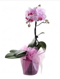 1 dal pembe orkide saksı çiçeği  Kars internetten çiçek satışı