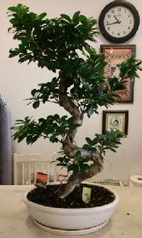 100 cm yüksekliğinde dev bonsai japon ağacı  Kars cicek , cicekci