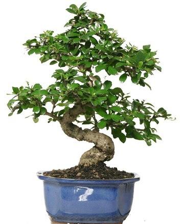 21 ile 25 cm arası özel S bonsai japon ağacı  Kars anneler günü çiçek yolla