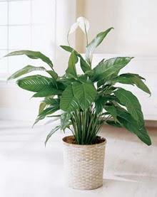 Kars çiçek gönderme sitemiz güvenlidir  spatilyum ithal büyük boy