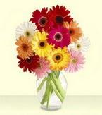 Kars online çiçek gönderme sipariş  cam yada mika vazoda 15 özel gerbera
