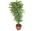 Ficus özel Starlight 1,75 cm   Kars çiçek yolla
