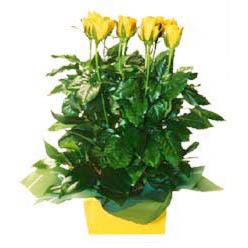 11 adet sari gül aranjmani  Kars çiçek siparişi vermek