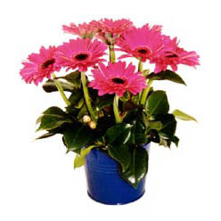 vazo içerisinde gerbera çiçekleri   Kars çiçek gönderme sitemiz güvenlidir