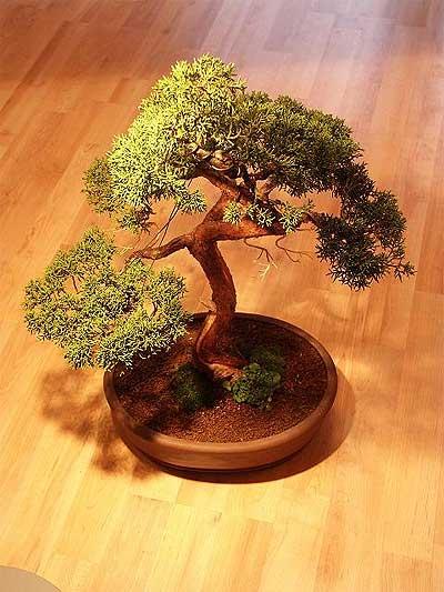 ithal bonsai saksi çiçegi  Kars çiçek siparişi sitesi