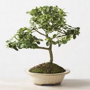 ithal bonsai saksi çiçegi  Kars hediye çiçek yolla