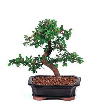 ithal bonsai saksi çiçegi  Kars İnternetten çiçek siparişi