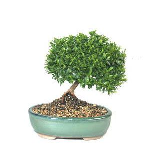 ithal bonsai saksi çiçegi  Kars çiçek gönderme
