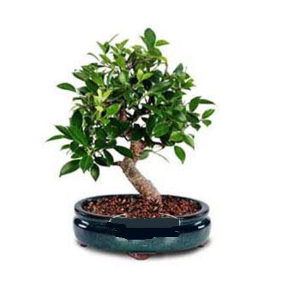 ithal bonsai saksi çiçegi  Kars güvenli kaliteli hızlı çiçek