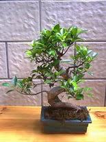 ithal bonsai saksi çiçegi  Kars ucuz çiçek gönder