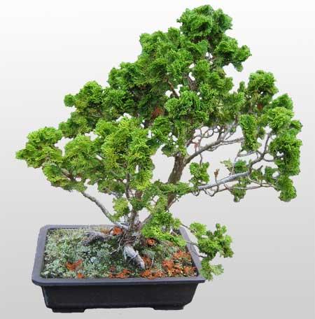 ithal bonsai saksi çiçegi  Kars cicek , cicekci