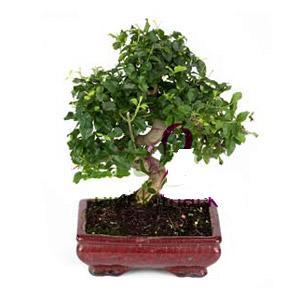 ithal bonsai saksi çiçegi  Kars çiçek , çiçekçi , çiçekçilik