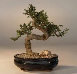 ithal bonsai saksi çiçegi  Kars çiçek satışı