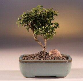 Kars uluslararası çiçek gönderme  ithal bonsai saksi çiçegi  Kars yurtiçi ve yurtdışı çiçek siparişi