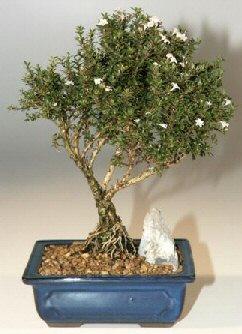Kars çiçek online çiçek siparişi  ithal bonsai saksi çiçegi  Kars çiçek gönderme sitemiz güvenlidir