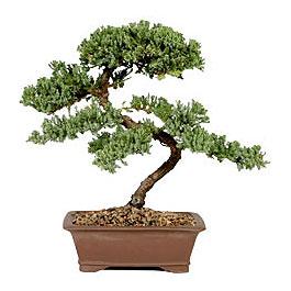 ithal bonsai saksi çiçegi  Kars cicekciler , cicek siparisi