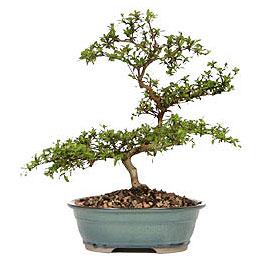 Kars cicek , cicekci  ithal bonsai saksi çiçegi  Kars cicekciler , cicek siparisi