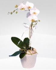 1 dallı orkide saksı çiçeği  Kars çiçek siparişi vermek