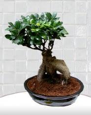 saksı çiçeği japon ağacı bonsai  Kars internetten çiçek satışı