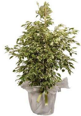 Orta boy alaca benjamin bitkisi  Kars yurtiçi ve yurtdışı çiçek siparişi