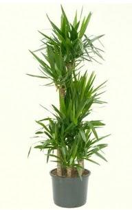 7 li yucca saksı bitkisi  Kars çiçekçi mağazası