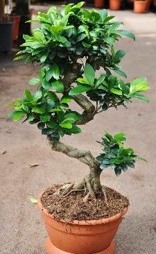 Orta boy bonsai saksı bitkisi  Kars çiçek yolla , çiçek gönder , çiçekçi