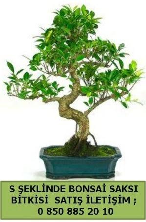 İthal S şeklinde dal eğriliği bonsai satışı  Kars 14 şubat sevgililer günü çiçek