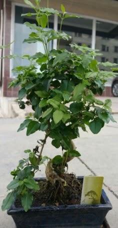 Bonsai japon ağacı saksı bitkisi  Kars İnternetten çiçek siparişi