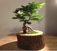Doğal kütükte Bonsai japon ağacı satışı  Kars yurtiçi ve yurtdışı çiçek siparişi