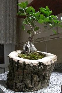 Ahşap kütük içerisinde ginseng bonsai  Kars çiçek yolla , çiçek gönder , çiçekçi