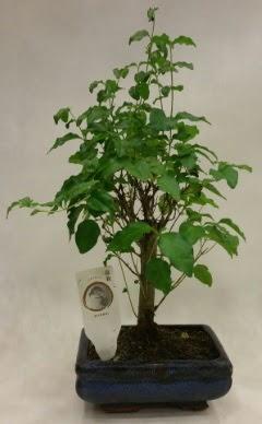 Minyatür bonsai japon ağacı satışı  Kars anneler günü çiçek yolla