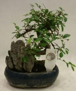 İthal 1.ci kalite bonsai japon ağacı  Kars hediye sevgilime hediye çiçek