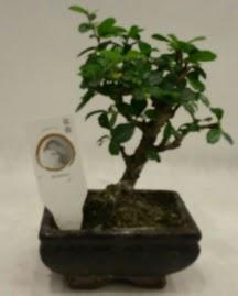 Küçük minyatür bonsai japon ağacı  Kars 14 şubat sevgililer günü çiçek