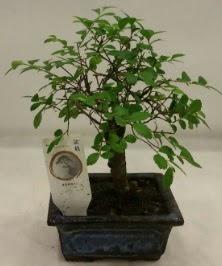Minyatür ithal japon ağacı bonsai bitkisi  Kars hediye sevgilime hediye çiçek