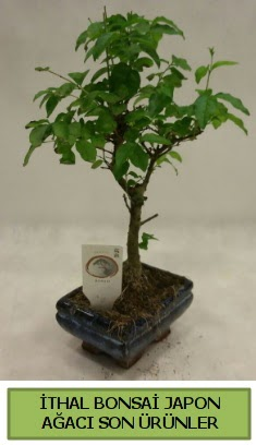İthal bonsai japon ağacı bitkisi  Kars ucuz çiçek gönder