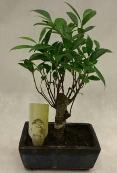Japon ağacı bonsai bitkisi satışı  Kars anneler günü çiçek yolla