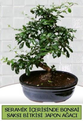 Seramik vazoda bonsai japon ağacı bitkisi  Kars güvenli kaliteli hızlı çiçek