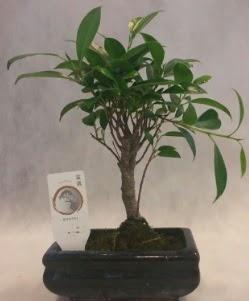 Bonsai japon ağacı bitkisi satışı  Kars cicekciler , cicek siparisi