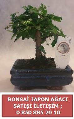 Japon ağacı minyaür bonsai satışı  Kars hediye sevgilime hediye çiçek