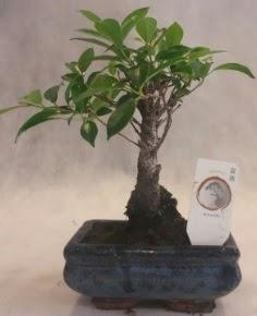 Bonsai ağacı japon ağaç bitkisi  Kars uluslararası çiçek gönderme