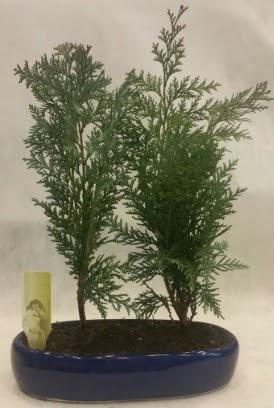 SINIRLI SAYIDA Selvi Ağacı bonsai ikili  Kars anneler günü çiçek yolla