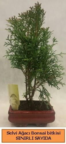 Selvi ağacı bonsai japon ağacı bitkisi  Kars hediye sevgilime hediye çiçek
