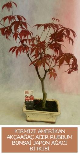 Amerikan akçaağaç Acer Rubrum bonsai  Kars çiçekçi telefonları