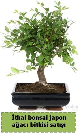 İthal bonsai saksı çiçeği Japon ağacı satışı  Kars cicek , cicekci