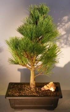 Çam ağacı japon ağacı bitkisi bonsai  Kars anneler günü çiçek yolla