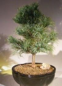 Çam ağacı bonsai bitkisi satışı  Kars çiçek servisi , çiçekçi adresleri