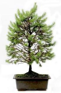 *** STOKTA YOK - Çam ağacı bonsai bitkisi satışı  Kars çiçek gönderme