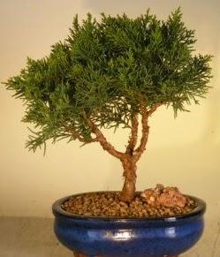 Servi çam bonsai japon ağacı bitkisi  Kars uluslararası çiçek gönderme