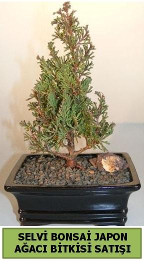 Selvi çam japon ağacı bitkisi bonsai  Kars anneler günü çiçek yolla