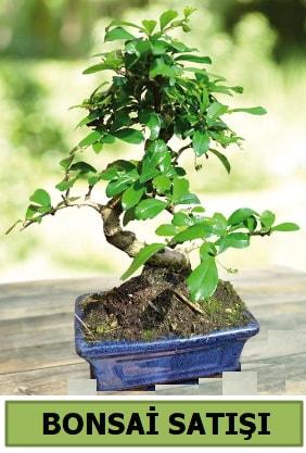 Çam bonsai japon ağacı satışı  Kars hediye sevgilime hediye çiçek